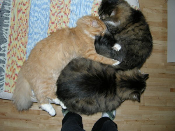Photo of Copernicus cuddled with Kitty 1 and Kitty 2